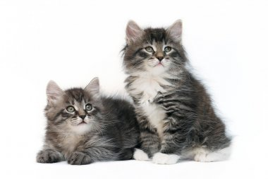 Two siberian kittens on white background