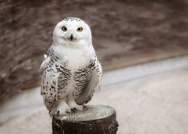 Snowy owl on wooden texture