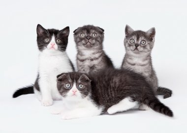 four small scottish fold and straight kittens on white backgroun