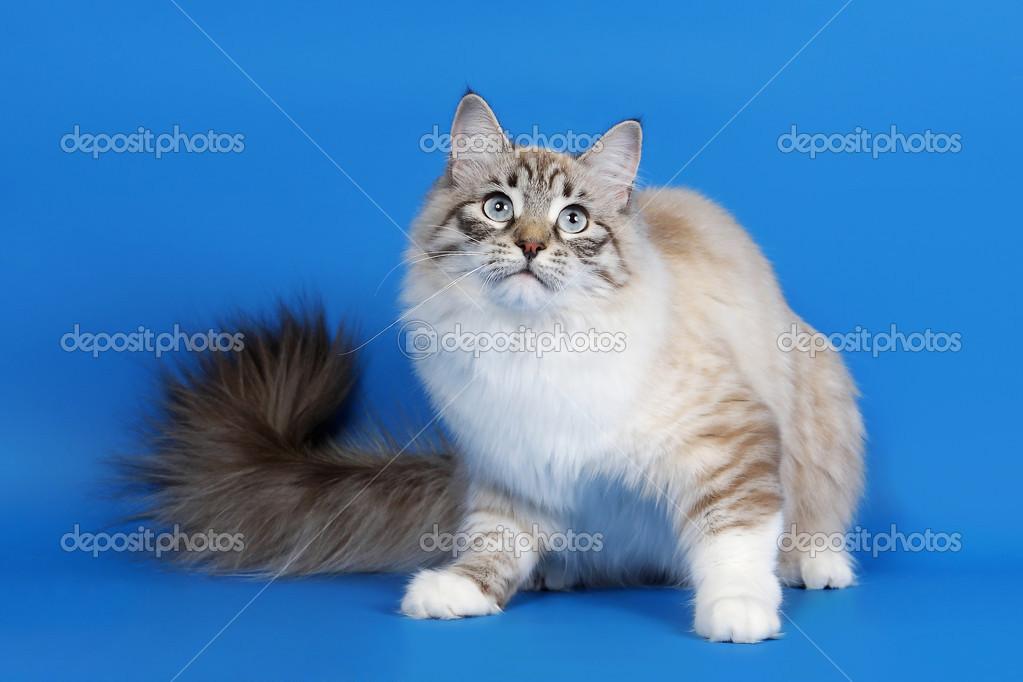 Młoda Kobieta Kot Syberyjski Uszczelnienie Mora Punkt Na Niebieski