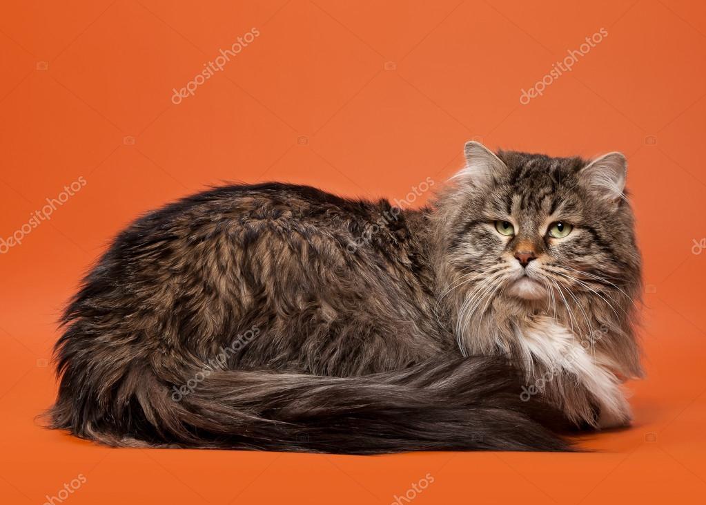 sibirische katze schwarz tiger mit wei auf hellem braun. Black Bedroom Furniture Sets. Home Design Ideas