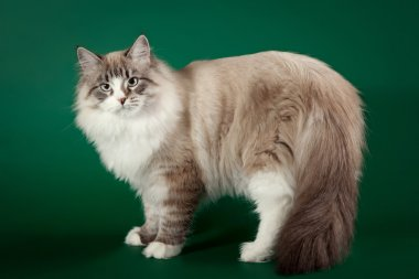 Seal tabby point with white siberian cat on dark green backgroun