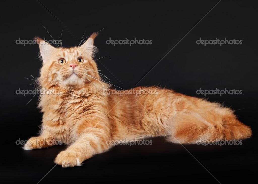 Americano Gatto Di Maine Coon Su Sfondo Nero Foto Stock