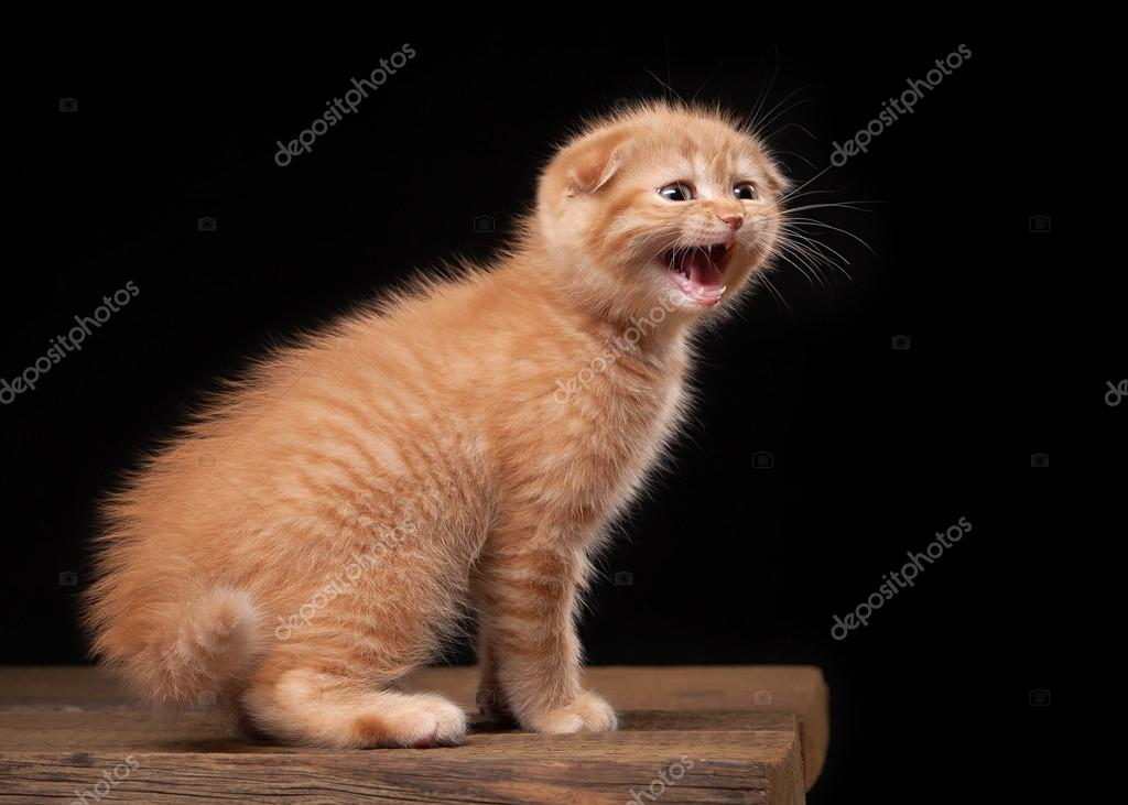 red scottish fold kitten on table with wooden texture