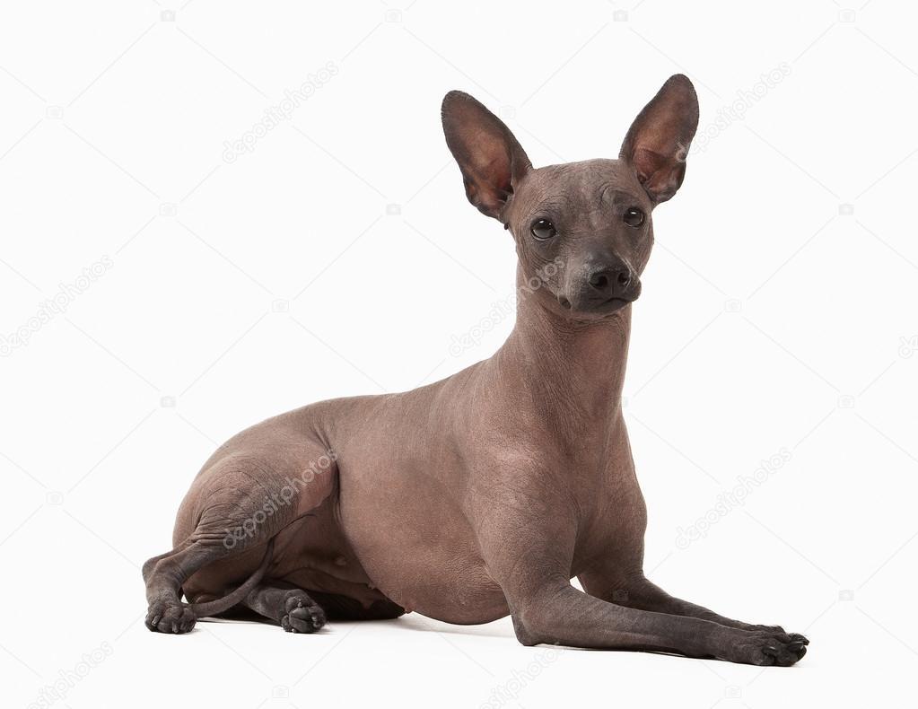 mexikanischer nackt hund