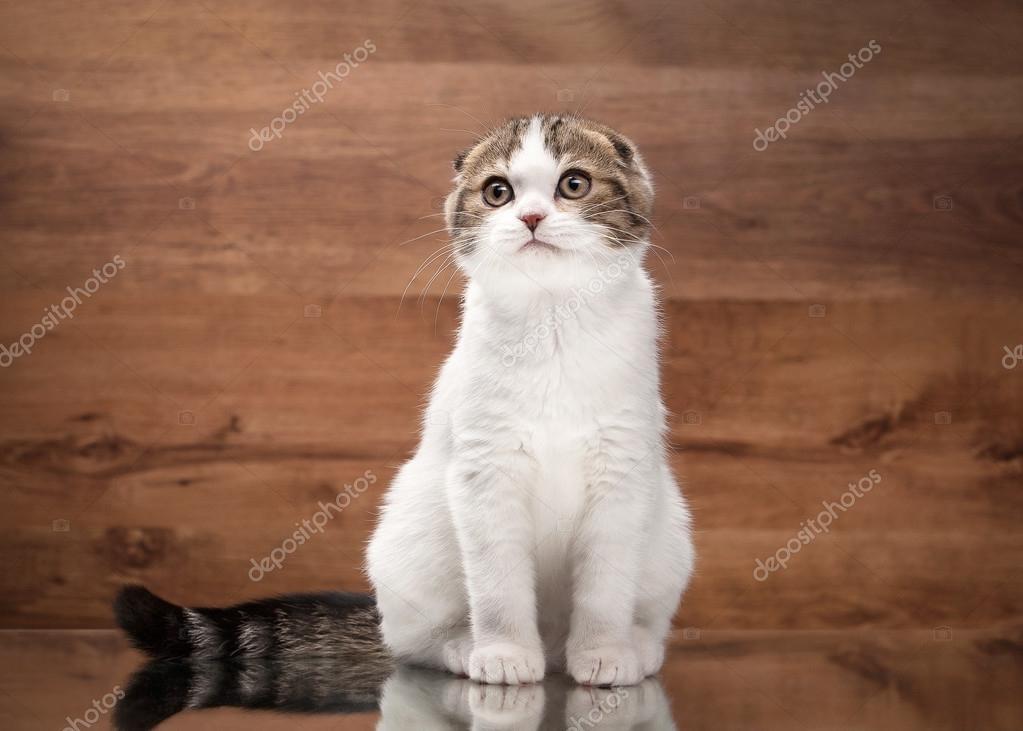 scottish fold kitten on mirror and wooden texture