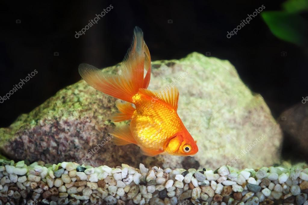 Pesci rossi in acquario con piante verdi e pietre foto for Pesci rossi prezzo