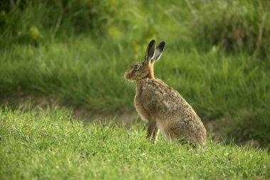 Brown hare, Lepus europaeus,
