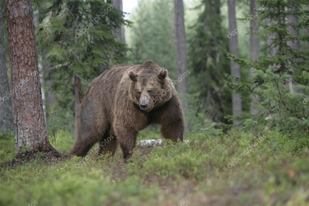 European brown bear, Ursus arctos arctos
