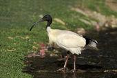 ibis posvátný, threskiornis aethiopicus