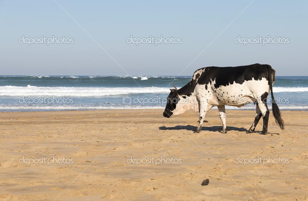 Mucca Nguni in riva al mare — foto stock