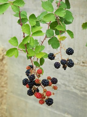 Young pink and black blackberries on twig with fresh green leaves in background.