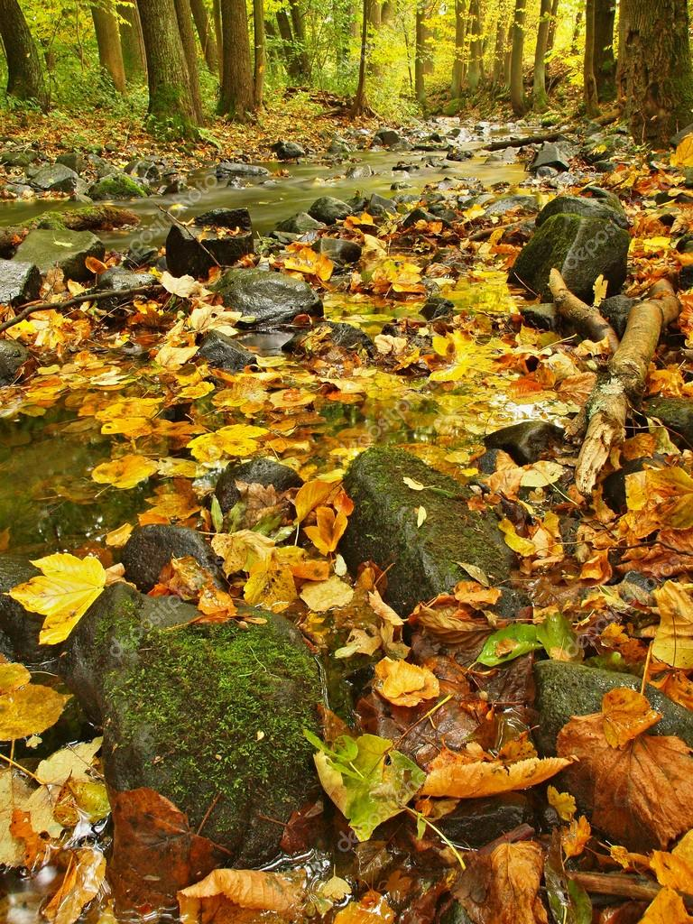 Mountain river with low level of water, gravel with colorful beech, aspen and maple leaves. Fresh green mossy stones and boulders on river bank after rainy day.