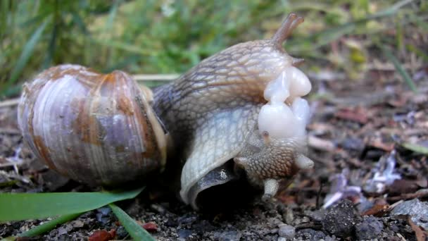 Two big snails have a sex. Very closeup view to snail sexual reproduction action.