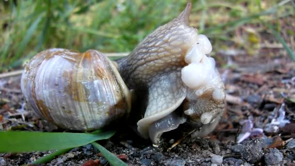 Two big snails have a sex. Very closeup view to snail sexual actions