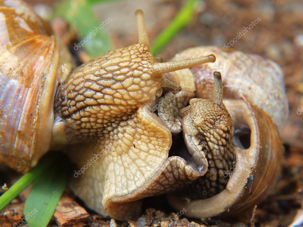 Two big snails have a sex. Very closeup view to snail sexual reproduction  action —