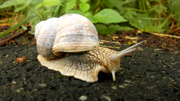 Very closeup view to quickly running snail with big gray shell on gray wet asphalt road, fresh green grass in background