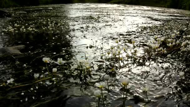 zblízka pohled na stream s květy obrovského vodního květu. proud čisté vody je kyvná s kvetoucími rostlinami. ráno u řeky