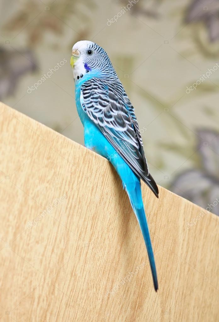 Kapıya Oturmuş Muhabbet Kuşu Güzel Kuş Stok Foto Es0lex 38253945
