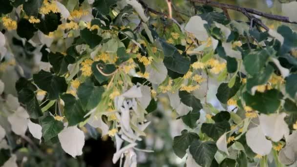 včely sbírat nektar z květů linden