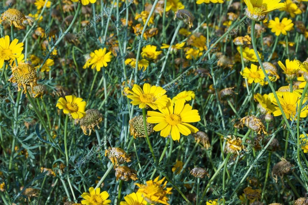 Yellow daisies .