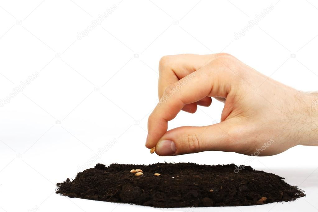 Man's hand sower wheat seed in earth on white background