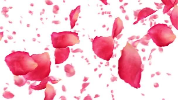 létající růží na bílém pozadí. 1080 p HD. smyčky animace