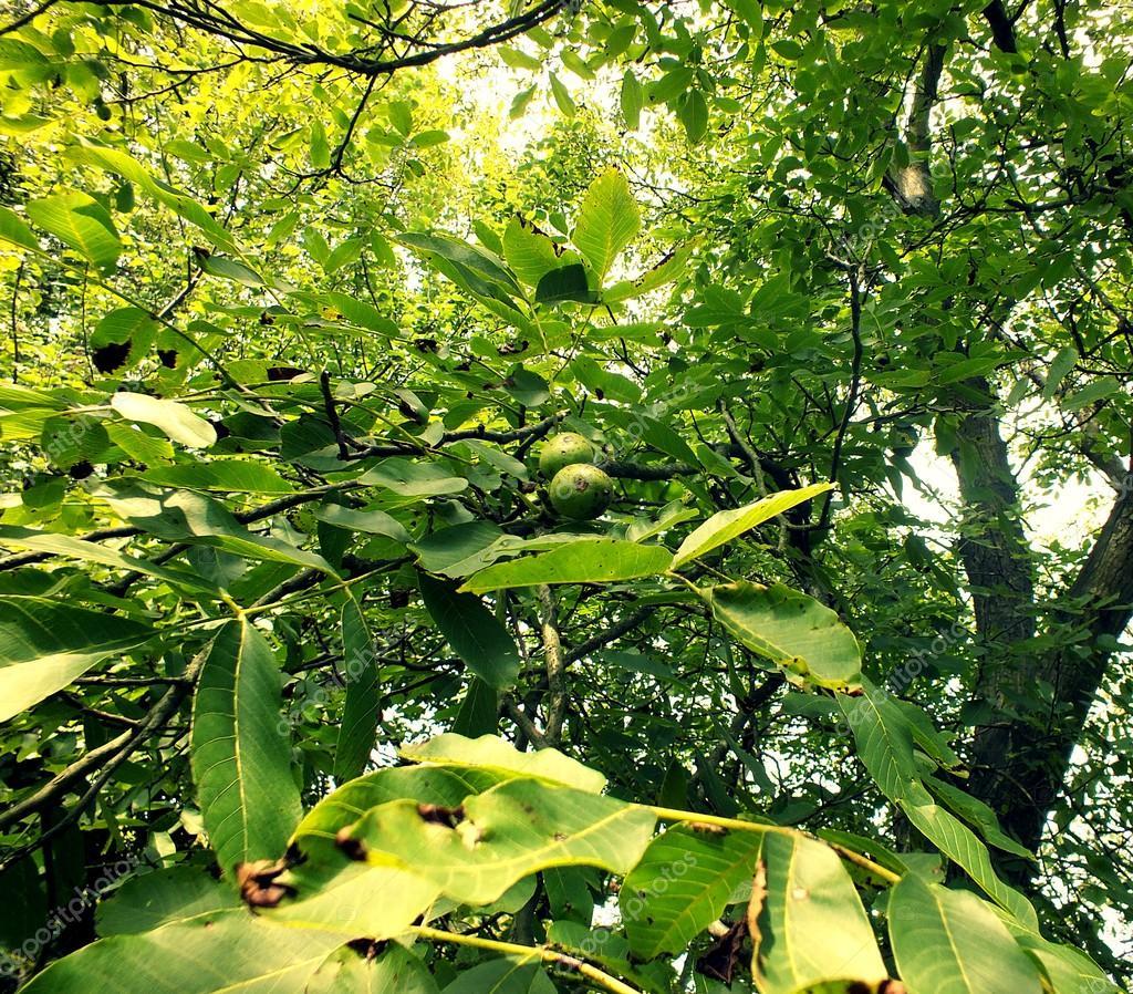 Walnut tree in a late summer