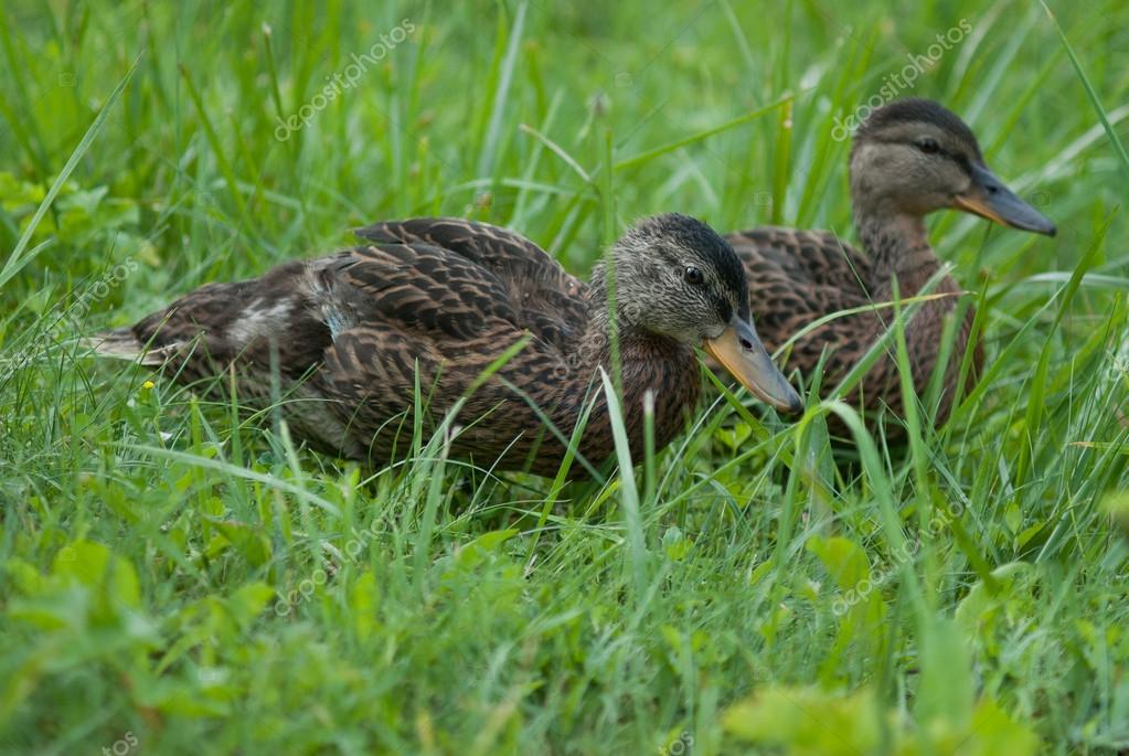 Brown ducklings