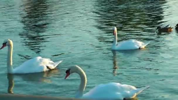 rodina labutí