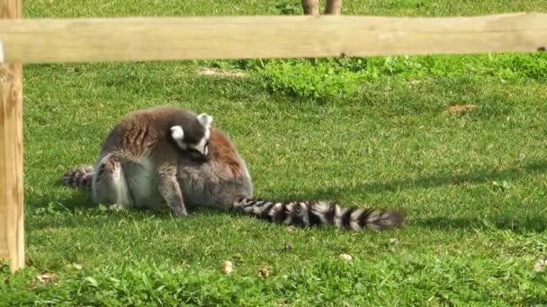 Lemur auf dem Gras
