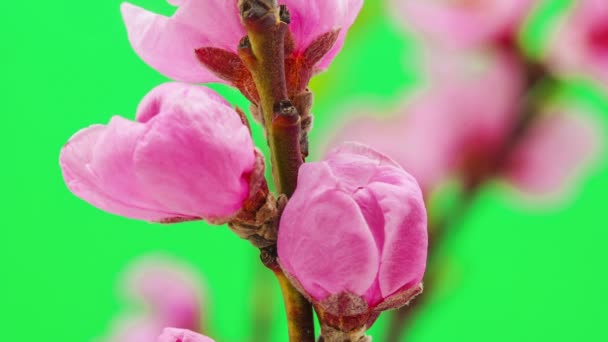 Peach flower blossoming time lapse