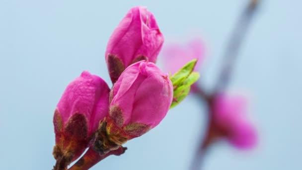 broskvový květ kvetoucí časová prodleva