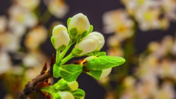 švestky divoké květiny kvetoucí