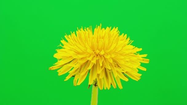 Pampeliška kvetoucí timelapse