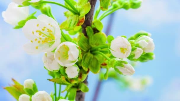 třešňový květ kvetoucí čas