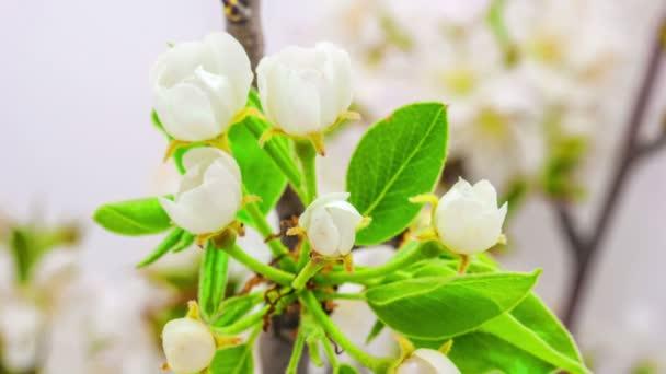hruškový květ kvetoucí časová prodleva