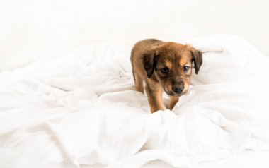 Two Month Old Pekingese and Chihuahua Mix Brown Puppy on White Bed