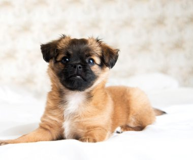 Fluffy Two Month Old Pekingese and Chihuahua Mix Brown Puppy on White Bed