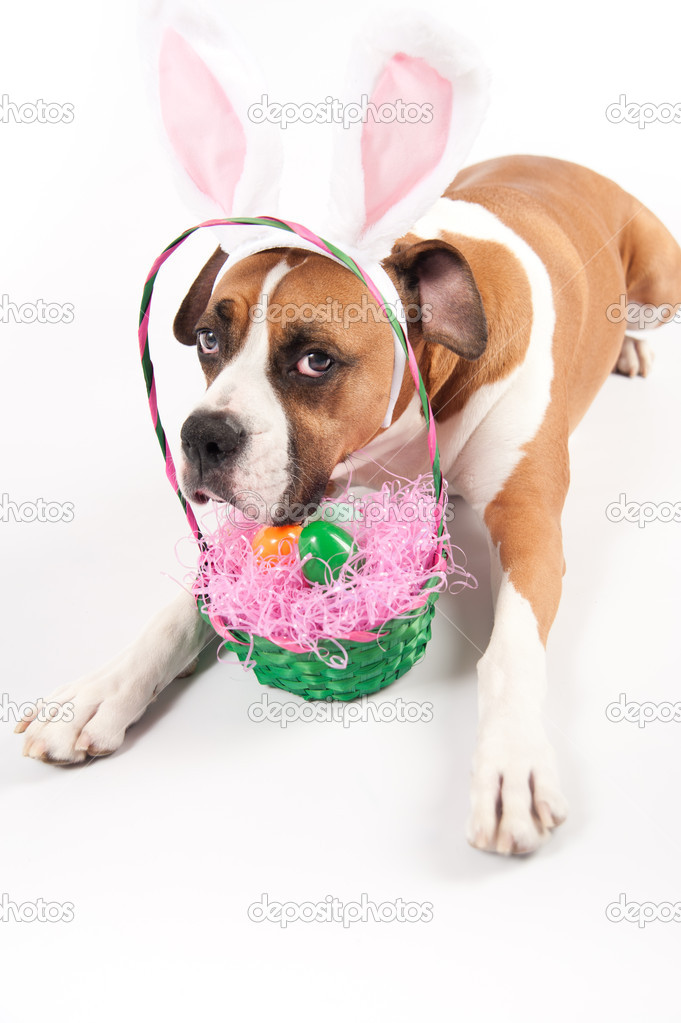 17 Best images about Easter on Pinterest   Chihuahuas ...  Boxer Dogs With Bunnies