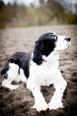 Black and White Old Spaniel