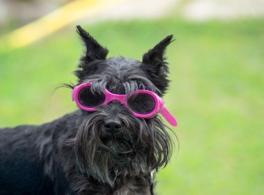 Small dog with glasses