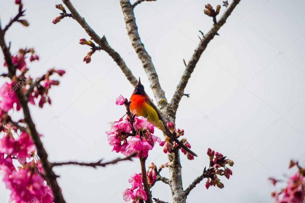 green trail sunbrid on Cherry Blossom and sakura