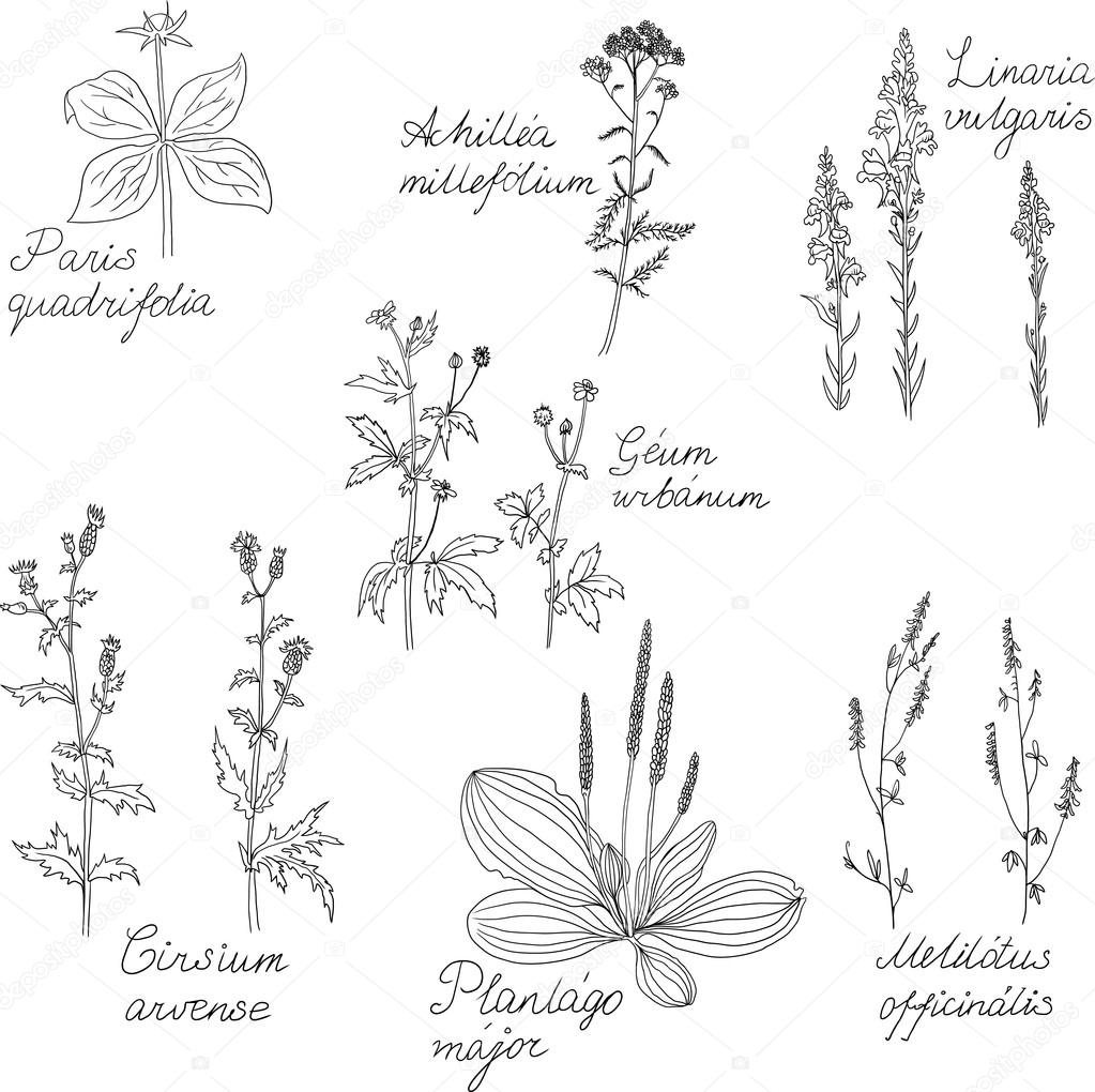 Set of line drawing herbs with Latin names
