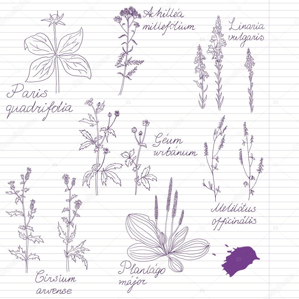 Set of ink drawing herbs with Latin names