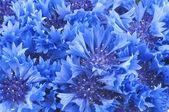 Detailní záběr krásný modrý květ chrpy