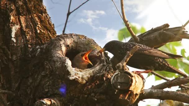 Koncepce rodinné péče rodičů: Špaček ptáci krmení