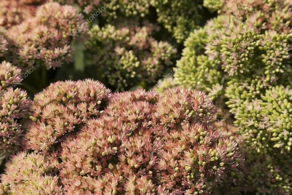 Sedum Flower Background