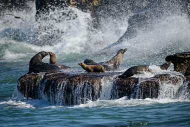Sea Lions Play in Crashing Surf