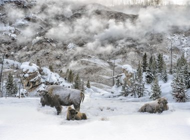 Bison and Steam in Yellowstone Winter